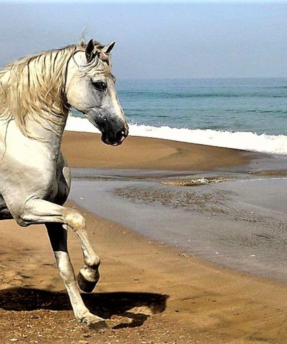 caballo-andaluz-trotando-en-la-playa